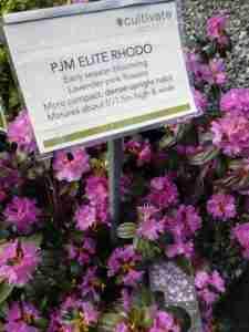 Rhodo PJM Elite