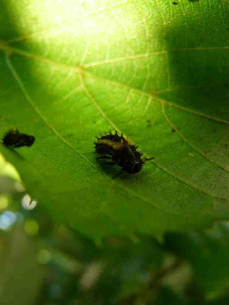 Ladybug larvae (3)